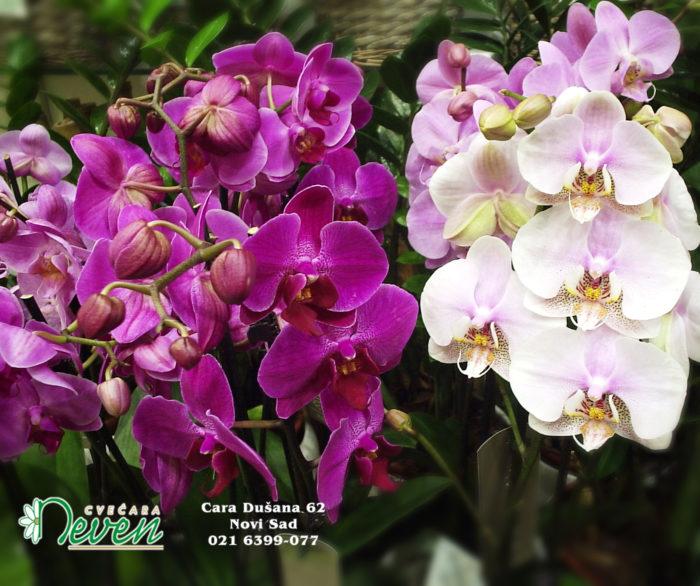 Orhideja ''Phalaenopsis''