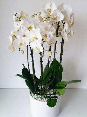 Orhideja Phalaenopsis